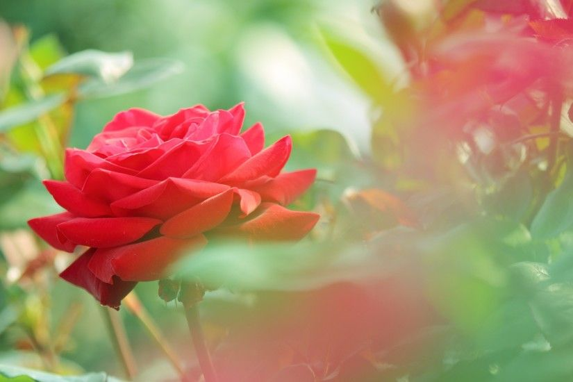 beautiful red rose flower photo hd wallpaper