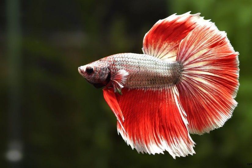 wallpaper.wiki-HD-Betta-Fish-Images-PIC-WPC009630