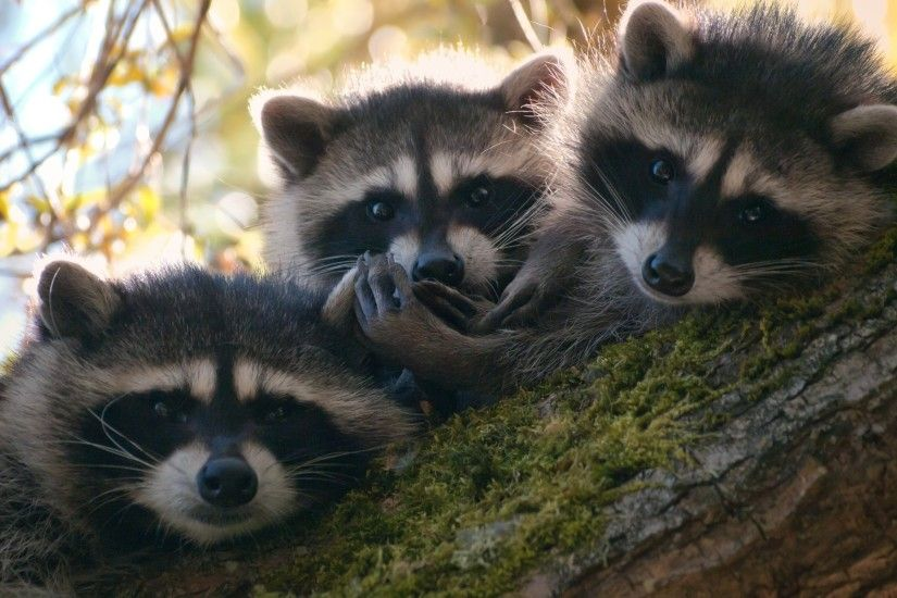 Animal - Raccoon Cute Wallpaper