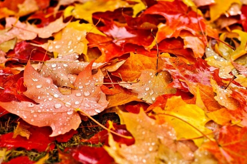 nature, Fall, Leaves, Maple Leaves, Water Drops, Depth Of Field, Grass,  Dew, Field, Colorful Wallpapers HD / Desktop and Mobile Backgrounds