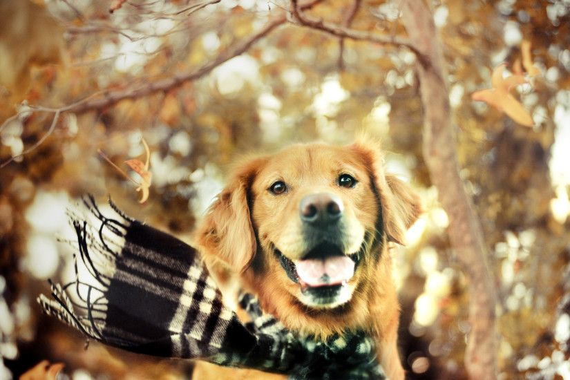 ... Golden Retriever Computer Background 8 Free Hd Wallpaper .