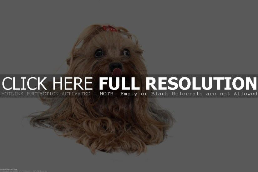 Yorkshire Terrier (id: 178601)