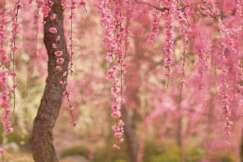 most popular cherry blossom wallpaper 1920x1080 for pc