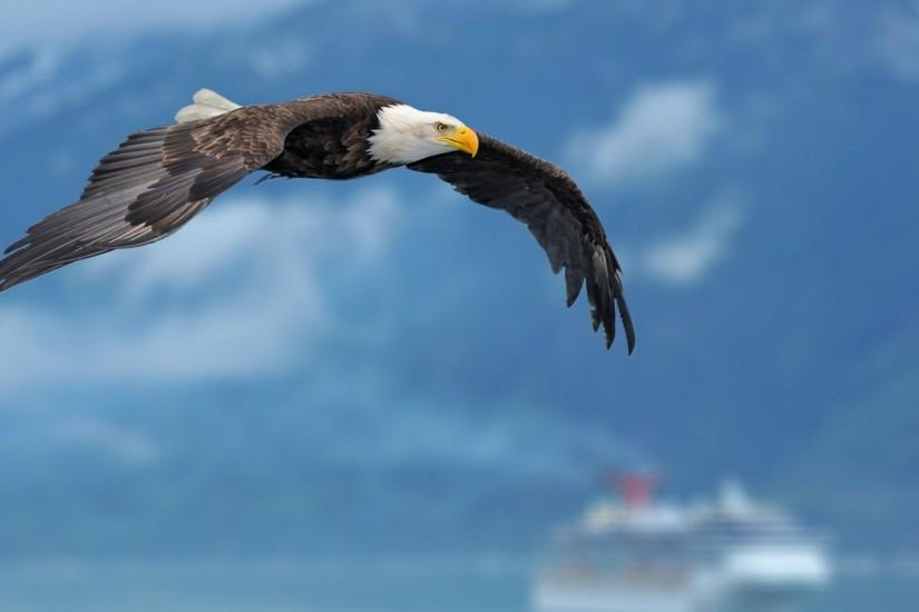 Download Flying Bald Eagle Wallpaper | Free Wallpapers