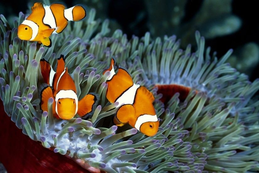1920x1080 colorful fish pictures | Colorful Tropical Fish Tank Wallpaper  ... | Saltwater Tank