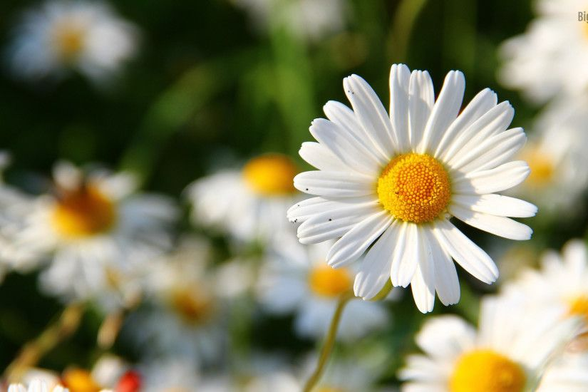 daisy-flower-hd-desktop backround