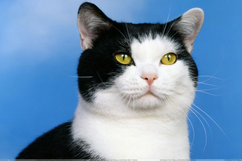 "You are viewing wallpaper titled ""Black And White Cat ..."