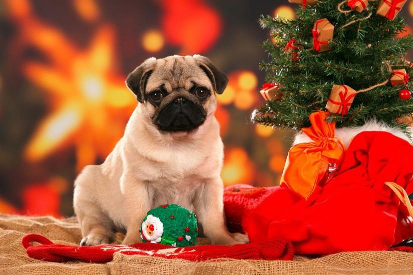 Pug under the Christmas tree. Great wallpaper beautiful dog breeds .