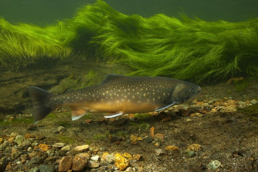 Animal - Trout Underwater Wallpaper