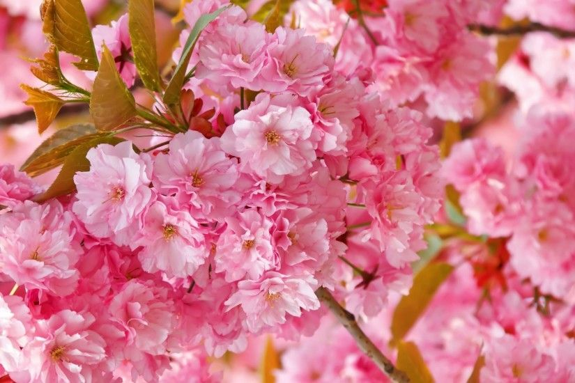 50 Lovely Cherry Blossom Wallpapers to brighten your Desktop .