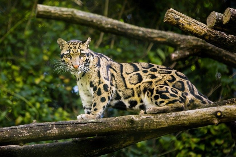 Clouded-Leopard-Wallpapers-11 - Animals Planent.