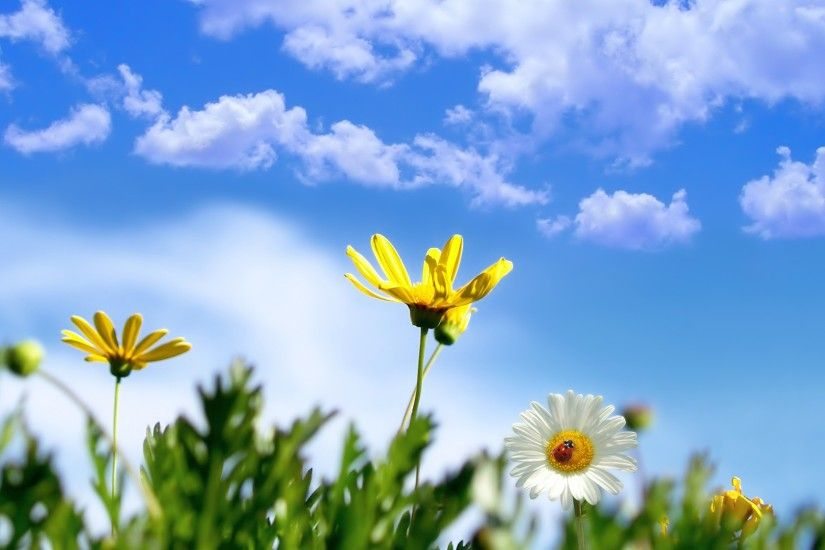 Spring Daisy Wallpaper Spring Nature Wallpapers