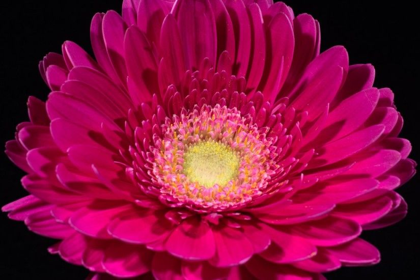 Flowers / Pink Gerbera Wallpaper