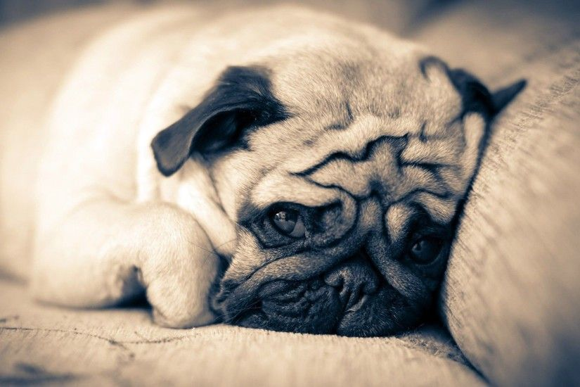 Pug Wallpapers keywords HERE 1920×1080 Pug Wallpaper (37 Wallpapers) |  Adorable Wallpapers