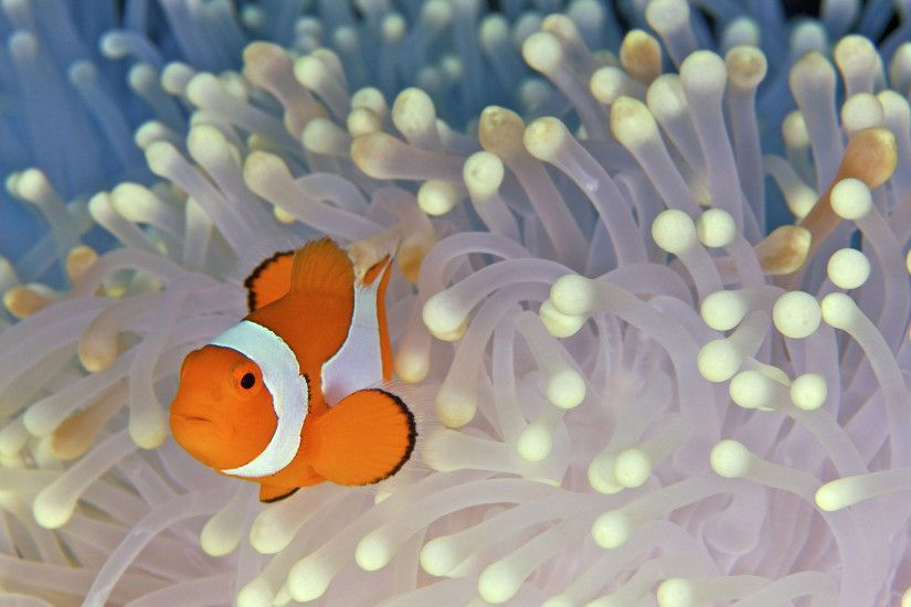 Clownfish HD Wallpaper 1920x1080