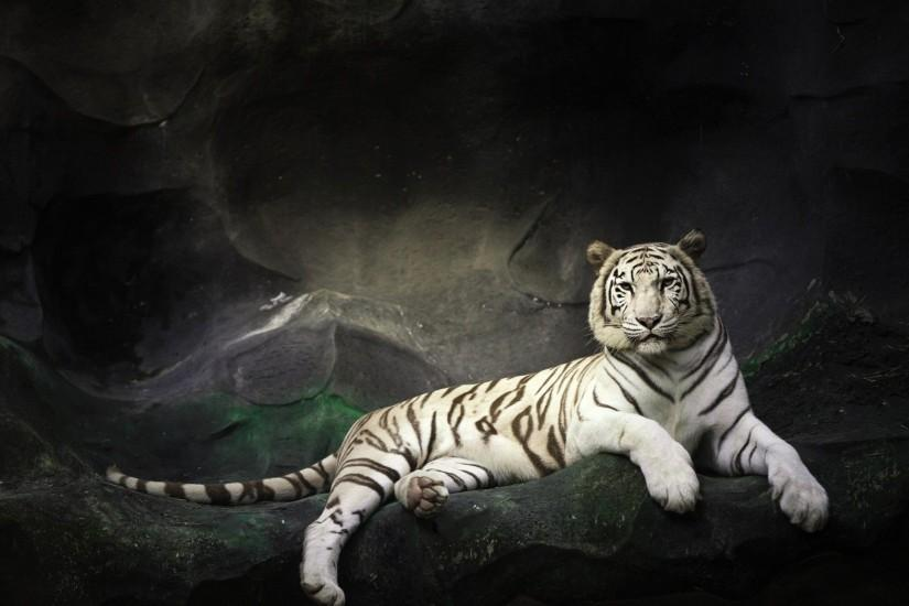 Wallpapers For > White Tiger Wallpaper 3d