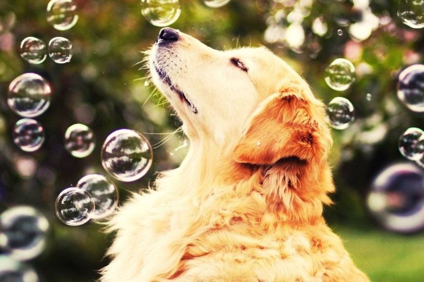 dog, Animals, Bubbles, Golden Retrievers, Nature Wallpapers HD / Desktop  and Mobile Backgrounds
