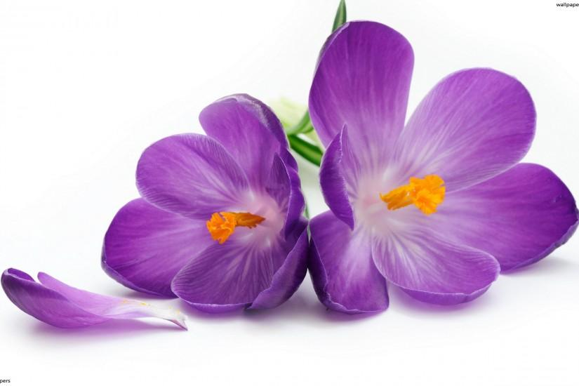 Violet Flowers HD Wallpapers White Background 2560x1600