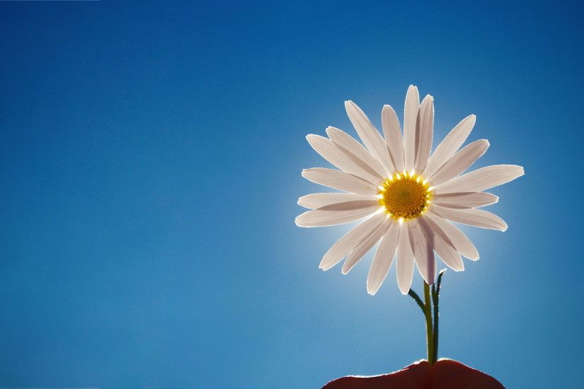 Image Detail for - Daisy, web, background, wallpapers, desktop, images,