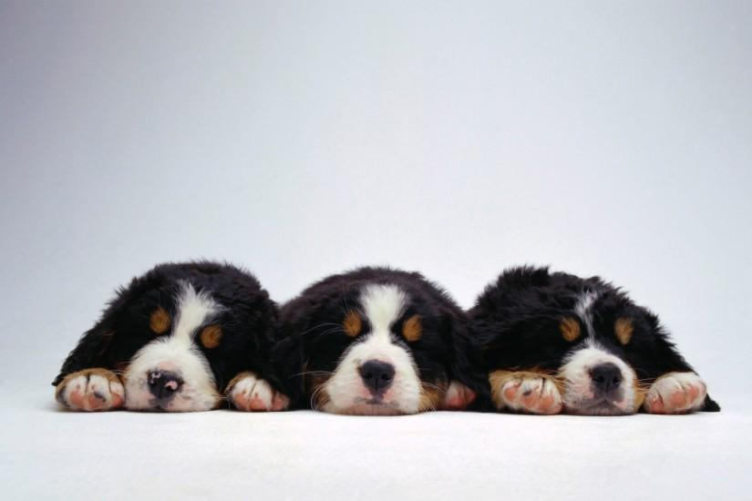 White Bernese Mountain Dog Wallpaper