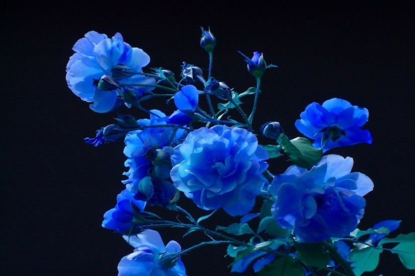 Images For > Black And Blue Rose Background