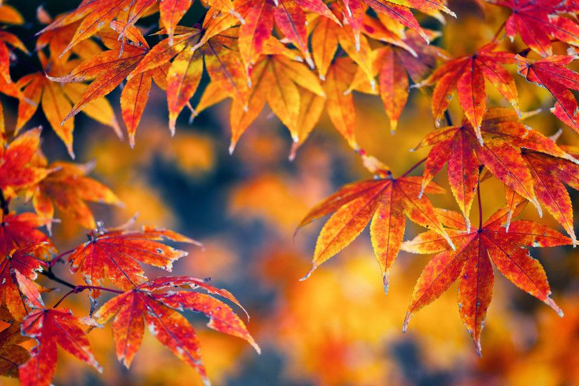 Gorgeous Red Fall Leaves Wallpaper