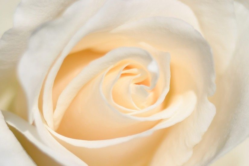 white rose flower up close wallpaper 10511