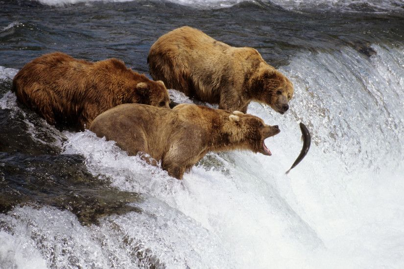 Free bears waiting for salmon wallpaper background