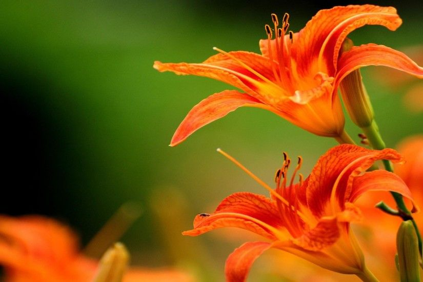 Tiger Lily Wallpaper - WallpaperSafari