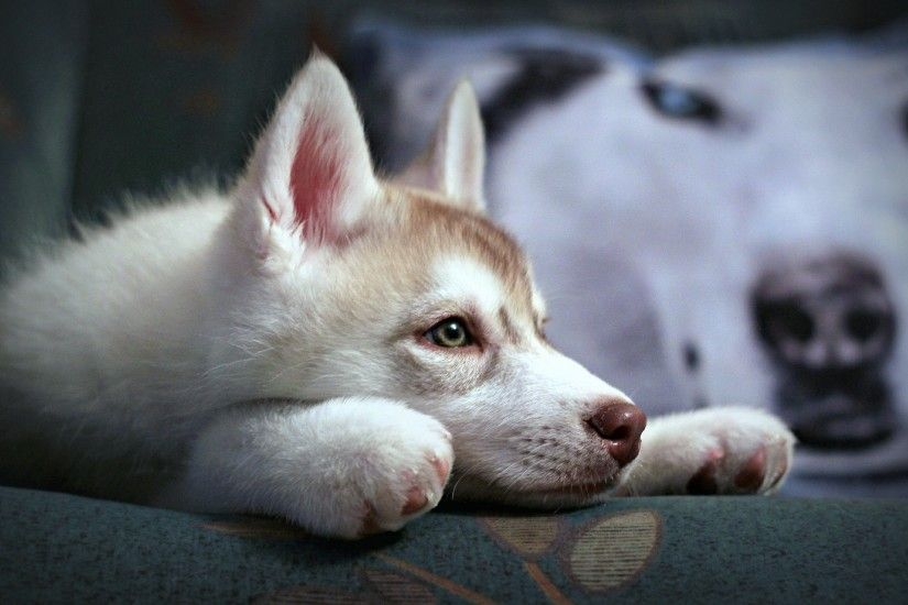 Lazy siberian husky wallpaper