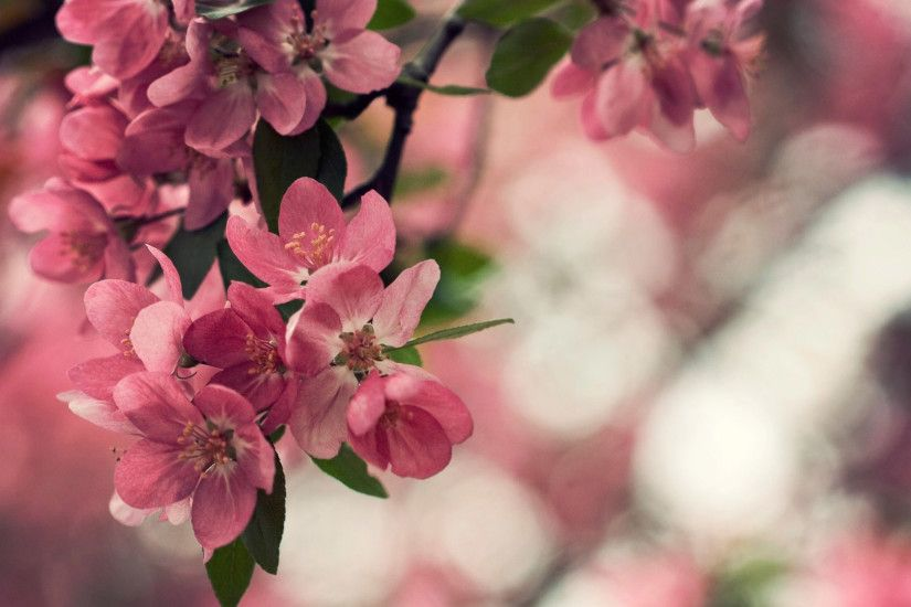 peach flowers wide hd wallpaper for desktop background download peach  flowers images