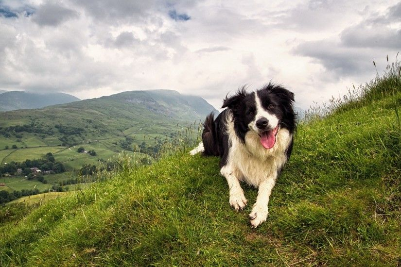 HD Wallpaper | Background ID:436264. 1920x1200 Animal Border Collie. 13  Like. Favorite