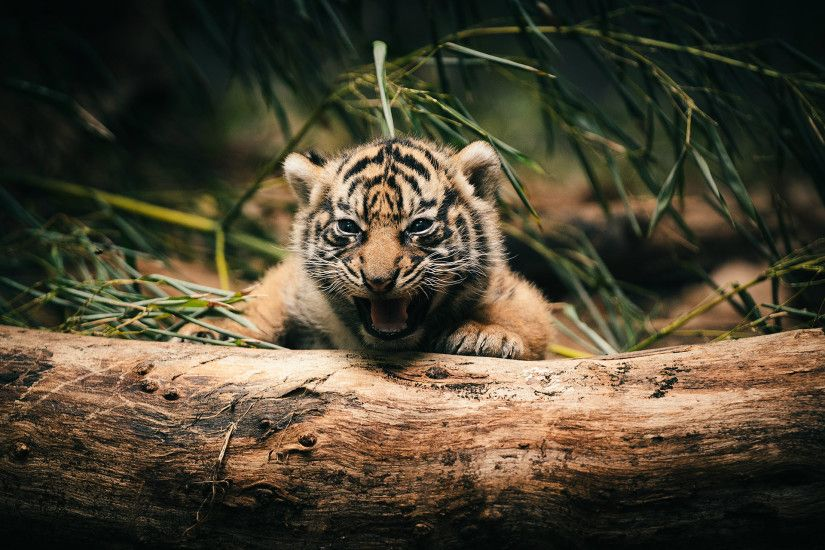 Lovely Tiger Cubs Wallpapers
