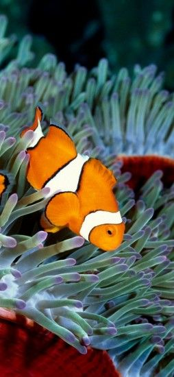 Clownfish, Underwater, Plants