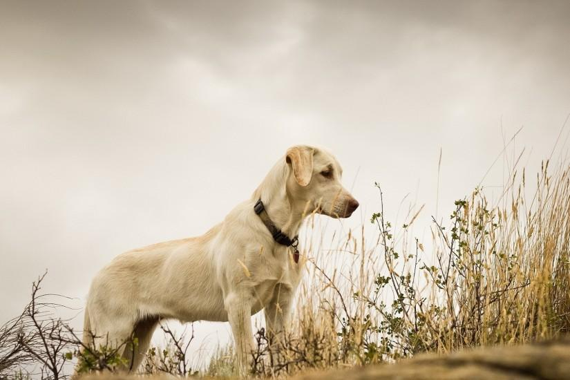 3840x2160 Wallpaper dog, grass, background, labrador