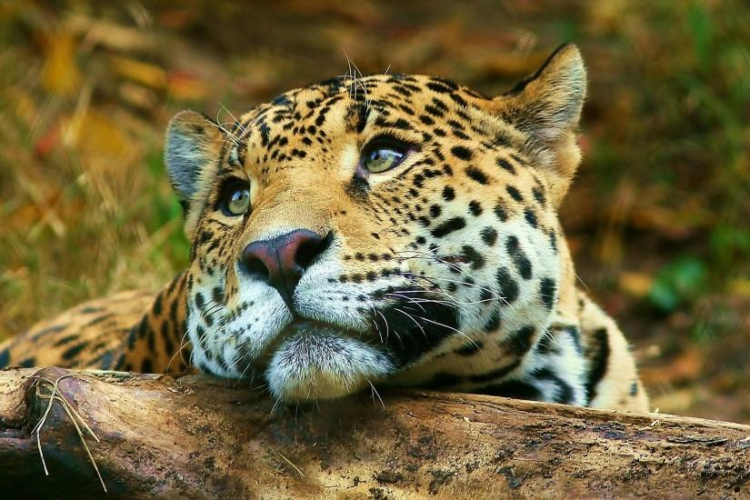 most popular animal wallpaper 1920x1440 for android tablet