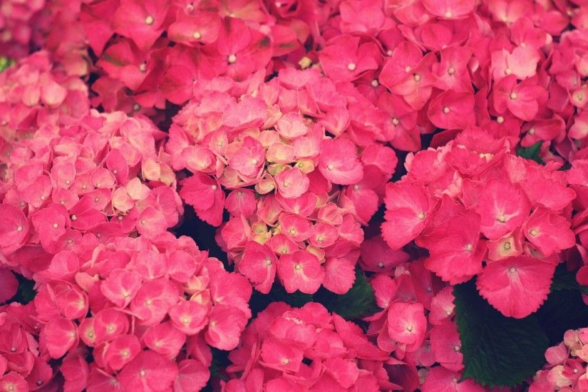 Pink Flowers Wallpaper 873