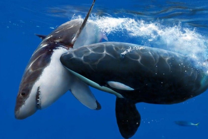Killer Whale Wallpaper Collections Amazing Wallpaperz 1024×786 Pictures Of  Killer Whales Wallpapers (49 Wallpapers) | Adorable Wallpapers | Pinterest  ...