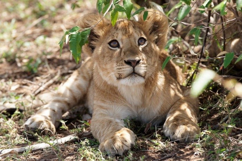 Cute lion cub looking up wallpaper