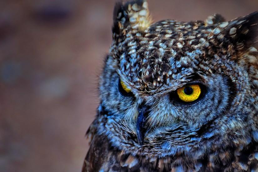 Spotted eagle owl wallpaper HD backgrounds 1920x1080.