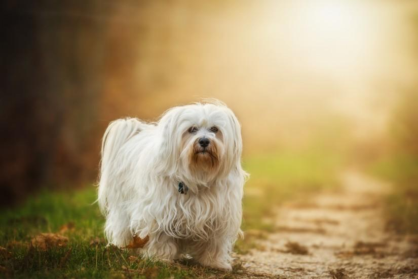 Beautiful Havanese Dog Pictures