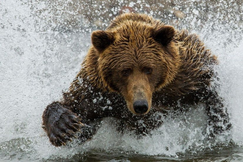 Brown Bear In The River wallpapers and stock photos