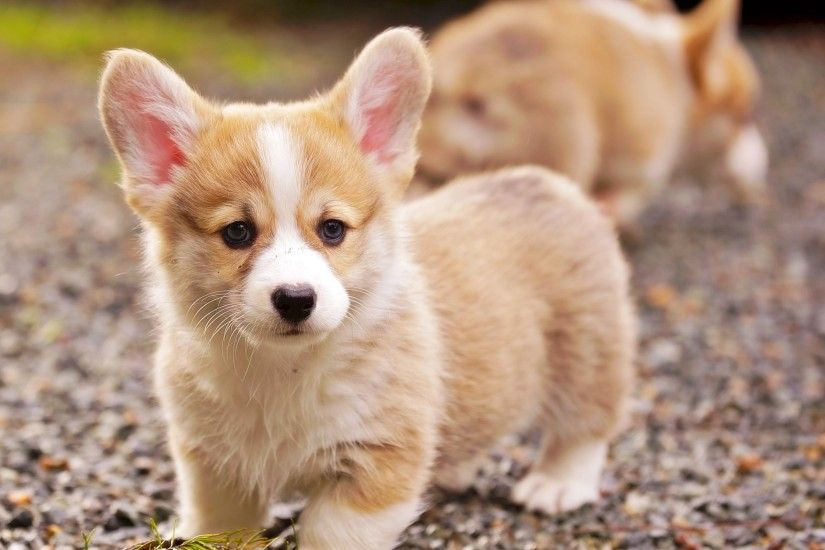 Pembroke Welsh Corgi Puppies Play at Black Gravel