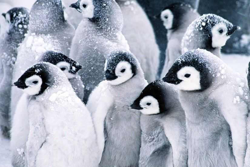 Baby Penguins Wallpaper Penguins Animals Wallpapers
