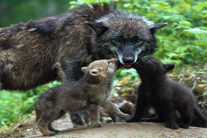 cute baby wolf pics wallpaper
