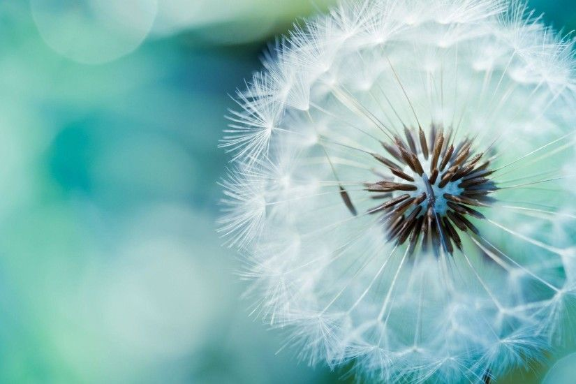 Abstract : Dandelion Flower HD Wallpaper Pretty Backgrounds Wide .