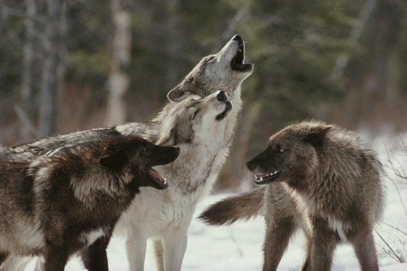 Winter Wolf Pack Wallpaper 1920x1080 px Free Download .