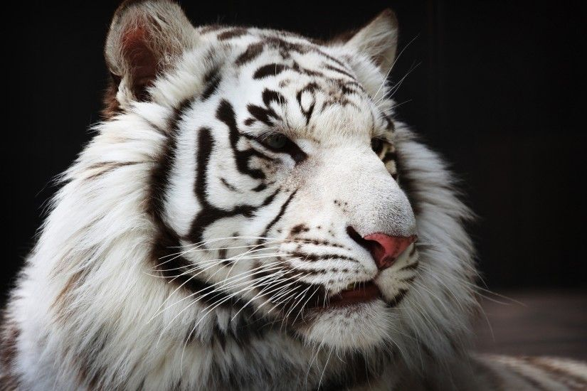 Animal - White Tiger Wallpaper