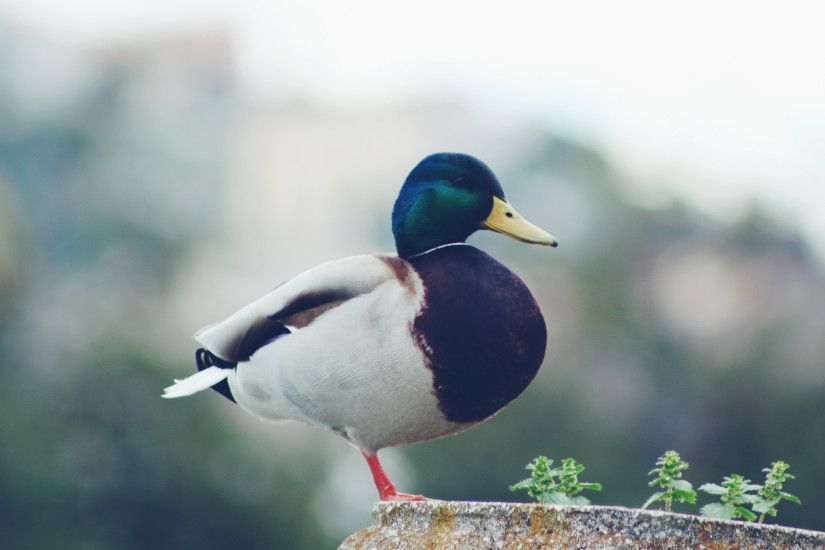 3840x2160 Wallpaper mallard, duck, bird