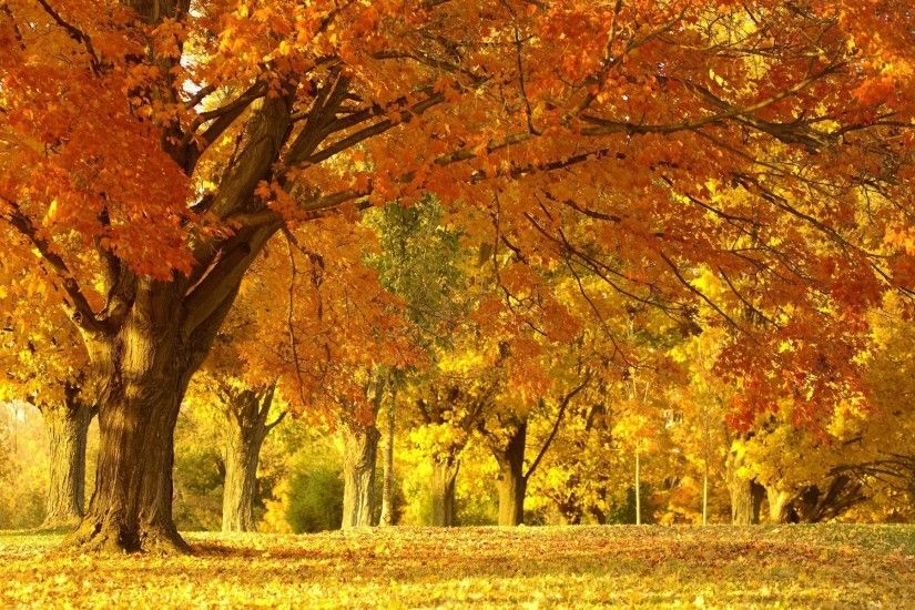 Golden Autumn Tree wallpaper with resolution up to - 32453